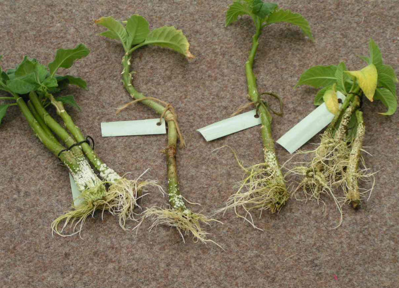 water rooted cuttings with roots